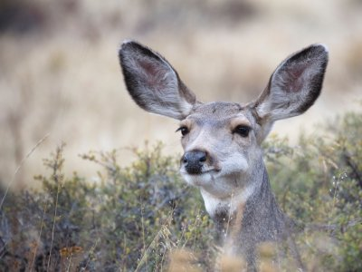GPS Collars wins contract to supply EarTraX for Mule Deer