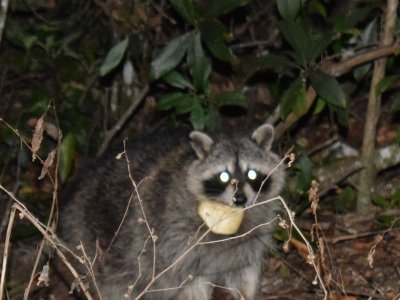 Released Racoon with CellTraX 125g